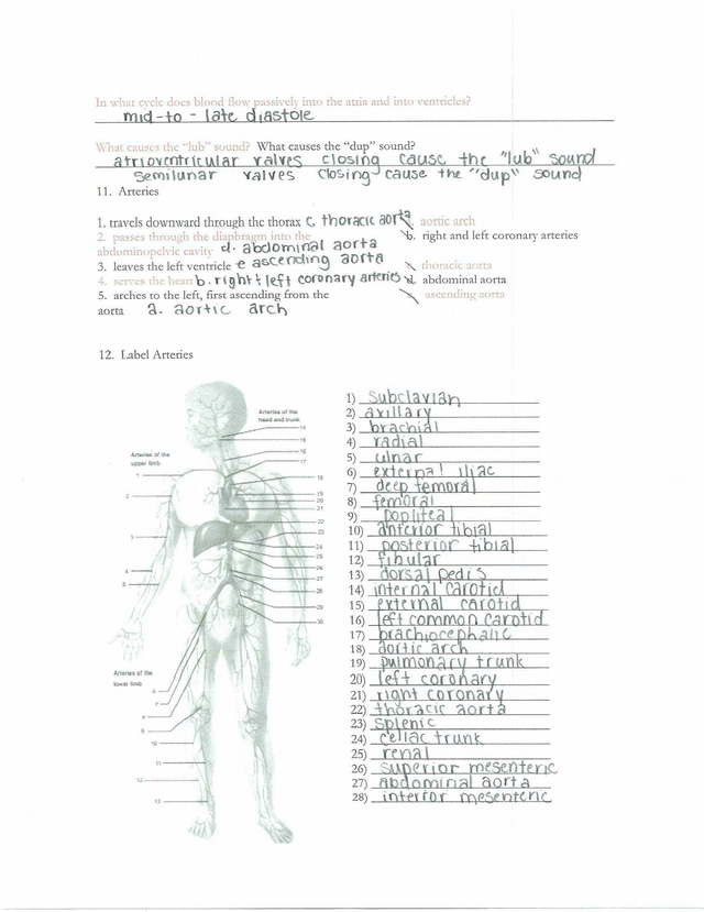 Cardio Study Guide- Answers - Chapter 11 The ...