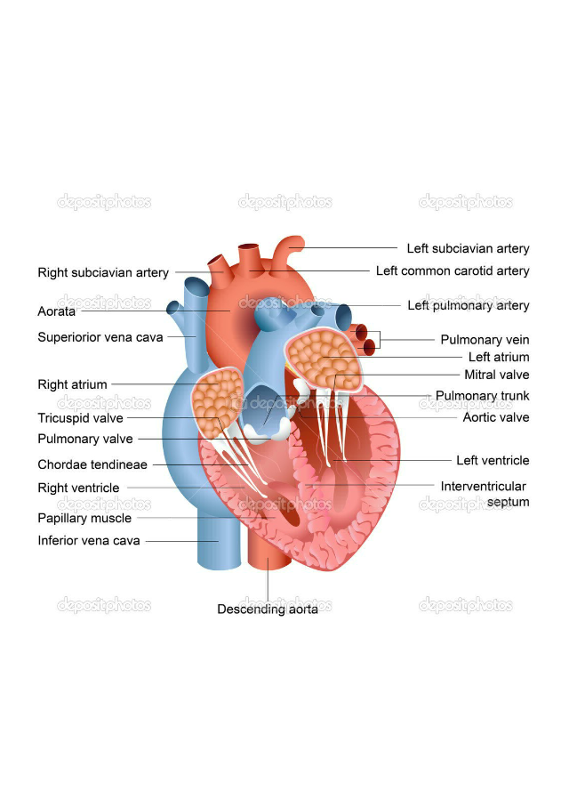 working-of-human-heart-with-diagram-craftbrewswagfo-human ...