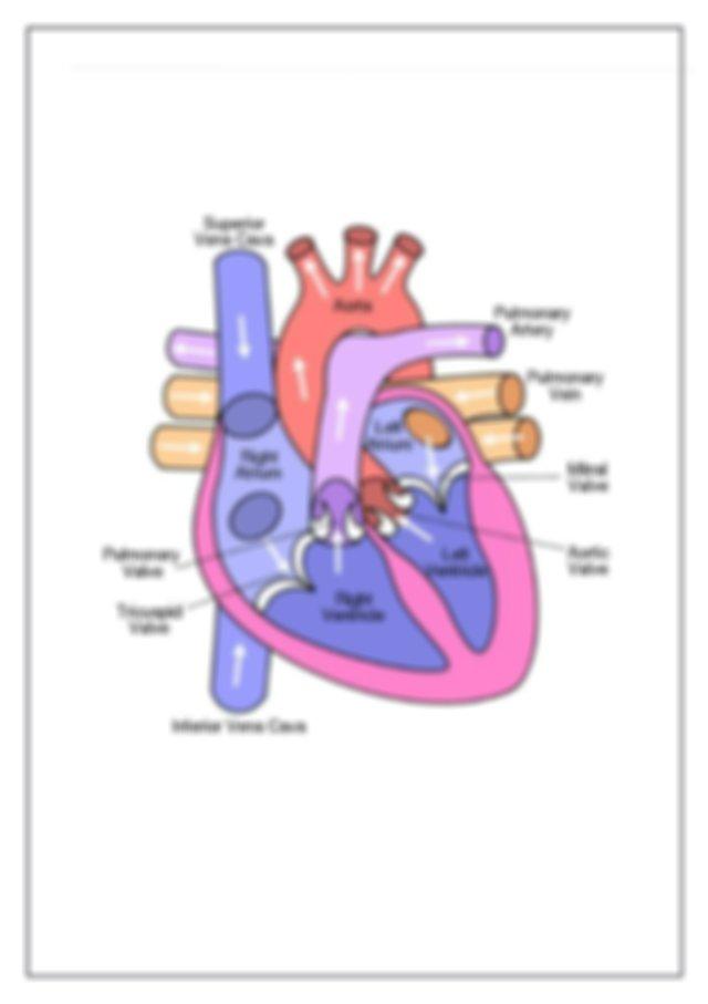 Heart structure worksheet.docx - Circulatory system Grade ...