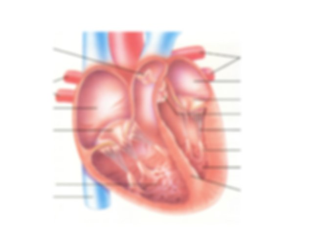 Cardiac Anatomy The Cardiac Cycle The Pressures Volumes
