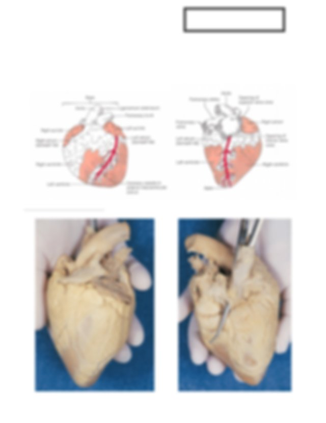 Dissection of sheep heart .pdf - Name Date Period ...