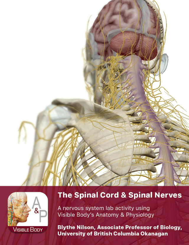 Lab Manual Spinal Cord And Spinal Nerves A P 2 Pdf 1 Pre Lab Exercises When Studying The Spinal Cord And Spinal Nerves It U2019s Important To Know How To Course Hero The filum terminale has often been overlooked in the literature due to its historical lack of research on its true morphology. spinal cord and spinal nerves