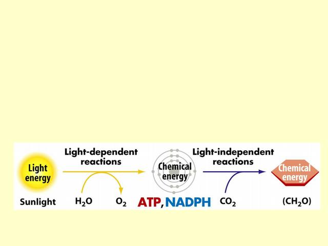 7 Photosynthesis.11 - Photosynthesis I Food Production II ...