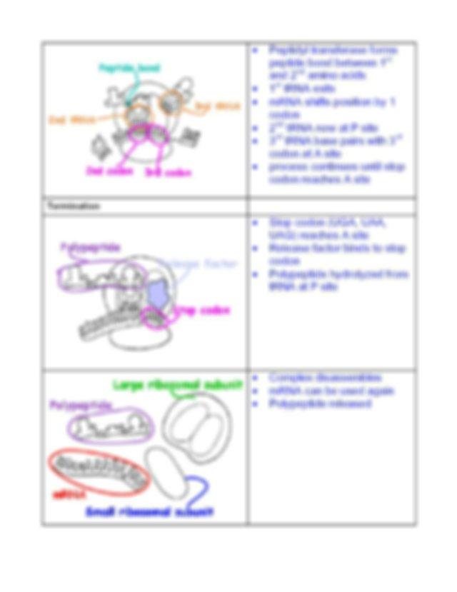 Protein Synthesis Worksheet.pdf - AP Biology Mrs Edgerton ...