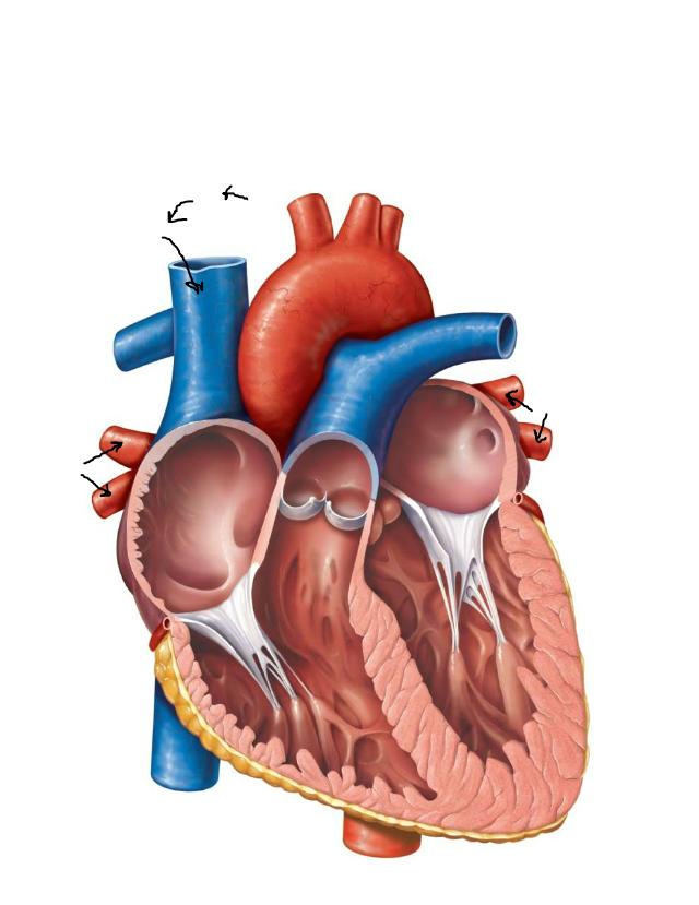 Blood Flow Through the Heart ANSWERED.pdf - Bio 2341 ...