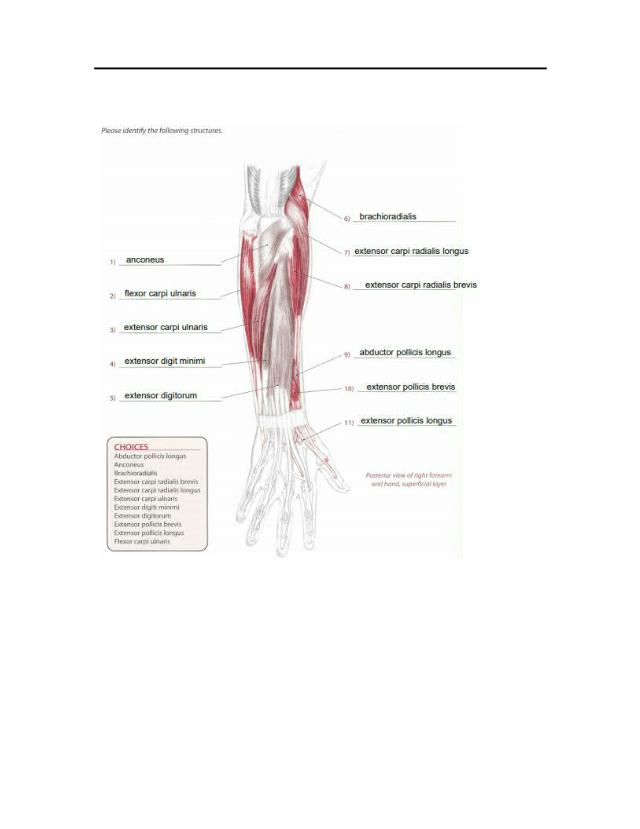 Worksheet - Forearm-Wrist-Hand.docx - KINE 3300 u2013 ...