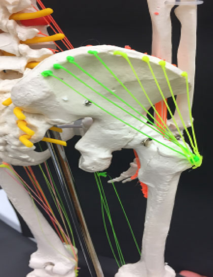 3D drawing of gluteus medius (green and yellow)