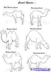 how-to-draw-camels-step-2_1_000000112163_5