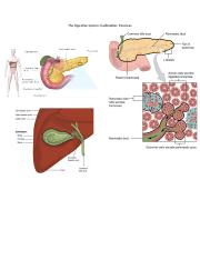 The Digestive System_accessory organs