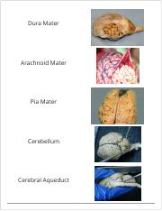 Bio 231 Sheep Brain Dissection FINAL.pdf