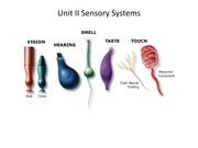 Lecture 7 Somatosensory 2014 updated