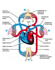 human circulatory system diagram blood flow throughout the body the circulatory system feel it  blood flow throughout the body the