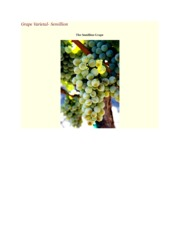 Semillion- Grape Varietal Report