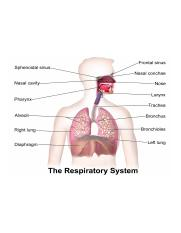 labeled_diagram_lungsrespirato_v2.png