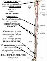 blood_supply_of_the_lowwer_limb