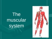 muscular system 3