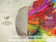 2_24F Lecture_17_Cerebral_Assymetry