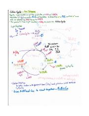 Calvin cycle pathway notes.pdf