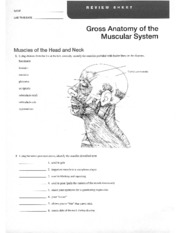 Anatomy Worksheets Labs IV-VI