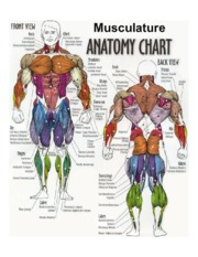muscle_diagram2