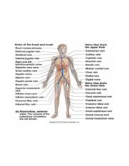 Exercise 32 Anatomy of Blood Vessels Exercise 33 Human