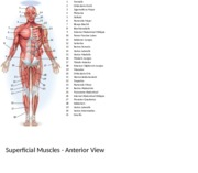 Anterior Superficial Muscles.xlsx