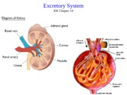 Lecture 18 excretion