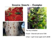 Lecture 17 - Invasive insects - examples