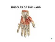 w7 L4 HAND MUSCLES 06