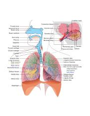 Respiratory_system_complete-large.png