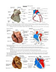 Introduction of heart anatomy.docx