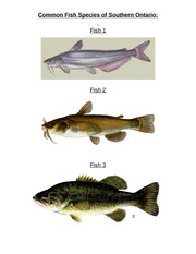 Homework - Identifying Fish - Dichotomous Key