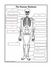 the_human_skeleton_labelling_worksheet