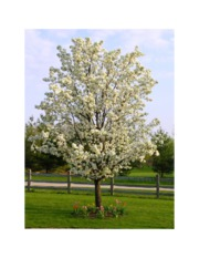 Bradford Pear in Bloom
