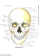 BIO211L labeling quiz 1 with answers, skull and shoulder
