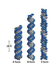 dna_helical_forms