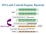 Lecture 5_DNA and central dogma