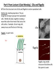 2017 Lecture 7 Cytoskeleton 3 Cilia Motors IF To Post 2017.pdf