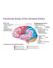left-lateral-view-functional-areas-cerebral-cortex-motor-sensory-association-areas.jpg