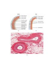 2102_Comparison_of_Artery_and_Vein.jpg