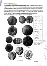 Infaunal Echinoderms and Homeomorphy Lab Notes