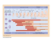 Teratogenic effects timeline
