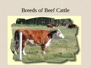 12. Breeds of Cattle2