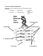 4 Pages Topic 8 Structure Of Dna And Replication Docx