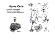 5-Nerve+cells+and+action+potential (1)