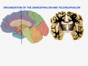 Diencephalon and Telencephalon
