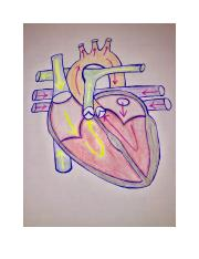 blood flow of heart.docx