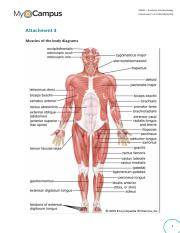 AAP01-Attachment 3 Muscles of the body diagrams.pdf