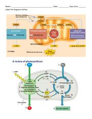 Cellular respiration and photosynthesis diagram exercise KEY.pdf