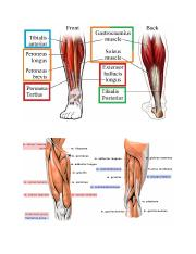 Joint Muscles